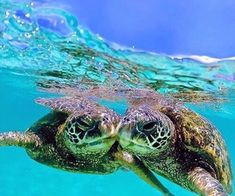 Tag someone you ❤️ ✨ photo in Hawaii. Check out his gallery for more details of this wonderful photo 😍 selected from Baby Sea Turtles, Cute Turtles, Sea Turtle Pictures, Animal Pictures, Beautiful Creatures, Animals Beautiful, Baby Animals, Cute Animals, Turtle Life