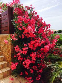 Beautiful Oleander Bush!