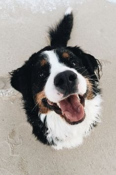 bernese mountain dogs Berner Sennenhund, Shetland Sheepdog, Bernese Mountain Dogs, Bernese Dog, Adorable Dogs, Cute Puppies, Dogs And Puppies, Happy Animals, Animals And Pets