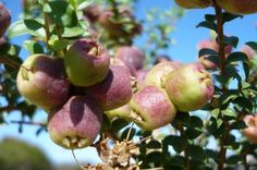 Muntries (Kunzea pomifera) native cranberries or emu apples are a low growing scrubs in the south coast of Australia