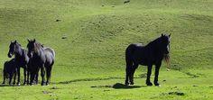 Ariègeois Pony