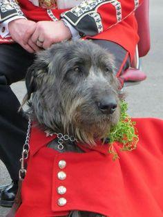 Domhnall Irish Wolfhound, Mascot of the Irish Guards