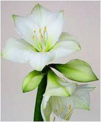 6 rád, ako pestovať amarylis - Ako a Prečo? Gardening, Plants, Lawn And Garden, Plant, Planets, Horticulture