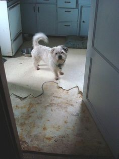 This is what happens with a dog with separation anxiety. Oh well, I always HATED that white linoleum in the kitchen.    And no, it was Theo, not the beagle who did this.     Tips on (dog training Idog separation anxietyIdog obedience) Learn more on http:www.curedoganxiety.hostgreatdinnerparties.com