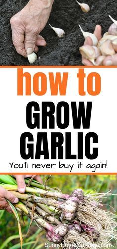 Wanting to do some planting of garlic cloves in your garden? Learn how to plant, care for, and harvest garlic. Info such as how deep to plant, where to plant, and the difference between bulbs and cloves and how to prep your garlic for planting. Diy Gardening, Gardening For Beginners, Organic Gardening, Container Gardening, Flower Gardening, Vegetable Garden For Beginners, Gardening Gloves, Hydroponic Gardening, Growing Plants