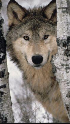 Grey Wolf behind a tree