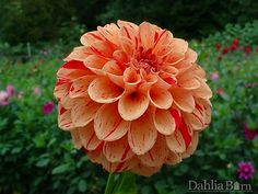 Quality dahlias grown in Washington State. We sell single dahlia tubers and dahlia bulbs that are true to name, guaranteed to grow and are free from viruses and diseases. Growing Dahlias, Gift Suggestions, Fathers Love, Dream Garden, Washington State, Dream Wedding, Bronze, Dahlia Flowers, Barn