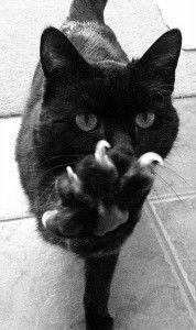 black cat looks a lot like my kitty Animal Gato, Mundo Animal, Crazy Cat Lady, Crazy Cats, Beautiful Cats, Animals Beautiful, Animals And Pets, Cute Animals, Photo Chat