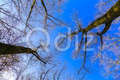 Qdiz Stock Photos Tree Trunks and Bare Branches Against the Sky,  #above #autumn #background #bare #beautiful #beauty #blue #branch #cloudy #day #landscape #leafless #light #nature #park #season #Silhouette #sky #tree #trunk #twig #view