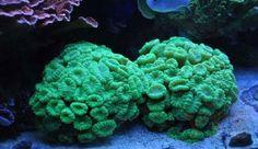 Hard Coral, Cauliflower, Vegetables, Ethnic Recipes, Food, Cauliflowers, Essen, Vegetable Recipes, Meals