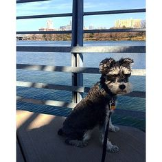 Another sunny day in Californ-I-A...no wait...it's #ATX.  #nofilter #yellowcard #puppybowl #sundayfunday  #dogsofinstagram #schnauzer #lbloggers #relaxing #liveauthentic #lunalovegood