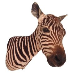 vintage zebra taxidermy mount