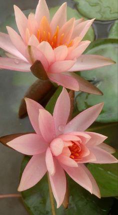 Nylon Flowers, Pastel Flowers, Exotic Flowers, Amazing Flowers, Wild Flowers, Lotus Flowers, Nymphaea Lotus, Pond Plants, Moon Photography