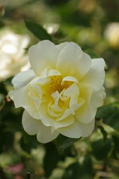 English Shrub Rose: Rosa 'Windrush' (U.K., 1984)