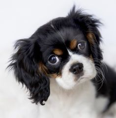 All the things I respect about the Playfull Cavalier King Charles Spaniel Puppies Cavalier King Charles, King Charles Dog, King Charles Spaniel, Spaniel Breeds, Cocker Spaniel Puppies, Spaniel Dog, Spaniels, I Love Dogs, Cute Dogs