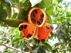 Peanut tree (black seeds are edible)