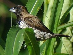 Birding Sulawesi and Halmahera, a birdwatching trip report and bird list from Indonesia.
