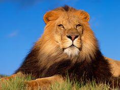 3-D Wild cats gifs | Per visualizzare lo sfondo di Leone bellissimo in dimensioni intere ...