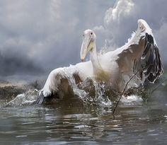 Pelican by Olga Shiropaeva on 500px