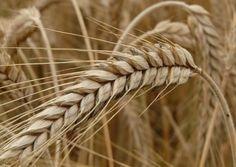 продажа пшеницы на элеваторе
