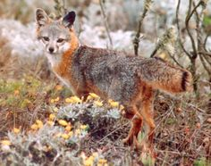 Island Fox, Channel Islands. Source: U.S.National Park Service