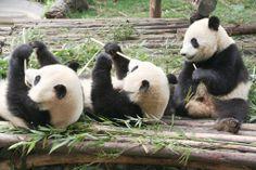 Giant Pandas, Chengdu, Sichuan jigsaw puzzle in Animals puzzles on TheJigsawPuzzles.com