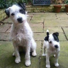 A pair of Jack Russells - big and small Cute Puppies, Cute Dogs, Dogs And Puppies, Doggies, Jack Russell Dogs, Jack Russell Terrier, Game Mode, Baby Animals, Cute Animals