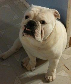 Handsome boy! Bulldog Quotes, Handsome Boys, French Bulldog, Funny, Dogs, Animals, Pretty Boys, Cute Boys, Bulldog Frances