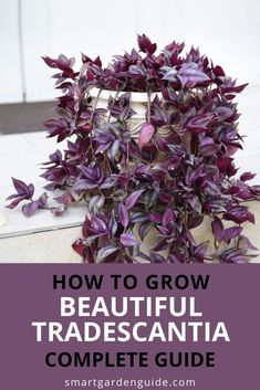Complete guide to Tradescantia zebrina care. This houseplant care guide covers all aspects of growing a healthy Wandering Jew plant indoors. I cover soil, light, watering, feeding, repotting, propagation and lots more. I also cover some of the common houseplant care problems and how you can avoid them. Indoor Flowering Plants, Blooming Plants, Outdoor Plants, Air Plants, Florida Plants, Wandering Jew, Kitchen Plants, Smart Garden, House Plant Care