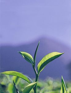 The TOP TWO LEAVES AND THE BUD —the unfurled leaf in the center—are the only three leaves picked from each branch of the tea plant.
