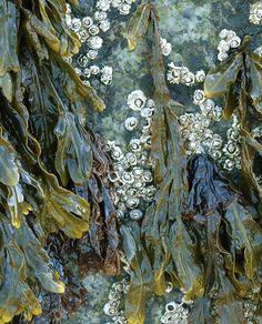Seaweed and barnacles on a rock at Salisbury Beach. Natural Forms, Natural Texture, Sea Texture, Patterns In Nature, Textures Patterns, Salisbury Beach, Flotsam And Jetsam, Textiles, Rock Pools