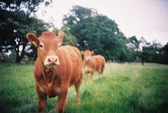 Cows farm animals
