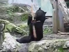 Bear playing with stick Cute Animal Videos, Funny Animal Pictures, Cute Funny Animals, Cute Baby Animals, Animals And Pets, Animal Antics, Animal Memes, All About Animals, Mundo Animal