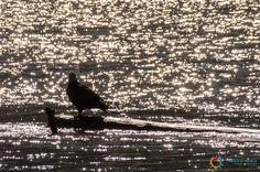 L'aquila che scruta il fiume in cerca di prede... #Skagway # Alaska