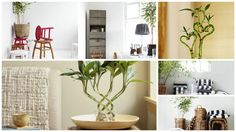 Is it possible to grow tall bamboo indoors