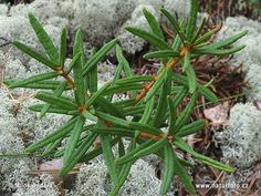 Ledum palustre has a history of therapeutic use at a major first-aid remedy for puncture wounds, anti-parasitic action as well as treating back problems, insect stings, joint, muscle, arthritic and nerve pain.