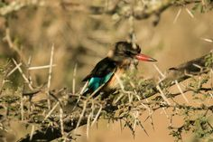 Brown-hooded Kingfisher #photography #birding #kingfisher #bucklandsprivategamereserve  #africa #southafrica
