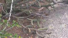 Rattlesnake along the La Luz Trail