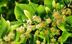 Przepisy i porady kulinarne: Likier z kwiatów lipy ( doskonały przy przeziębieniu ).