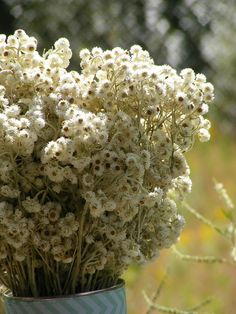 The smell of subtle mint and orange never really goes away on these dried pearly everlasting flowers!