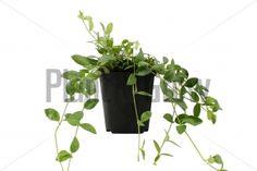 Vinca minor 'Gertrude Jekyll' kopen? | Plant & Grow
