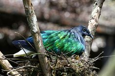 Nicobar Pigeon, Tame Animals, Bird Gif, Love Birds, Parrot, Feather, Creatures, Pets, Friends