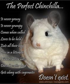 The Perfect Chinchilla ^actually, my chinnie is perfect so this isn't true 😂😂 Super Cute Animals, Unique Animals, Cute Baby Animals, Animals And Pets, Chinchilla Facts, Chinchilla Care, Guinea Pig Toys, Guinea Pigs, Chinchillas