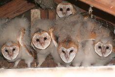 Woah. Nest of barn owls!