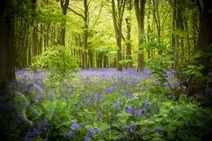 Beautiful #bluebells Making the most of sunlight earlier today! #Britain #Spring #photography © Sabine Coe