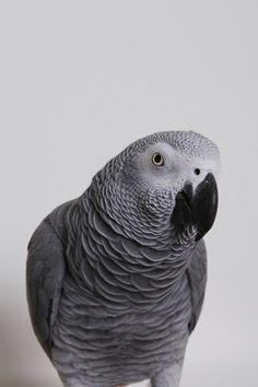 african grayy