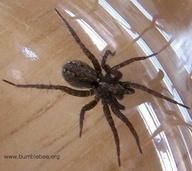 Natural Spider Killer or preventer... take one cup of vinegar, one cup of pepper, a teaspoon of oil and liquid soap. Put it into a spray bottle and spray along the outside of your outside door and along windows. Remember spiders kill other bugs!