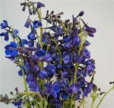 Delphinium Bella Donna Dark Blue :: enjoying the lighter side of life, even when troubles get you down