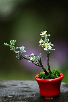 小品盆栽:bonsai