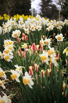 Daffodils might be one of my fav. spring flowers next to tulips.